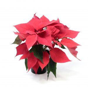 Poinsettia-Euphorbia pulcherrima  4″