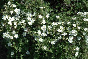 Potentilla fruticosa Abbotswood