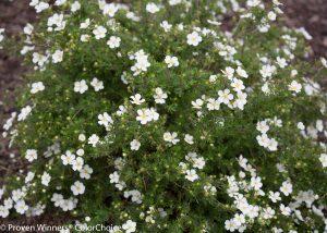 Potentilla fruticosa Happy Face White