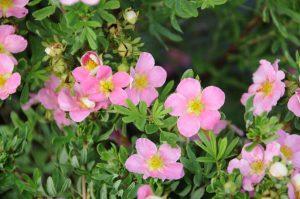 Potentilla fruticosa Pink Beauty