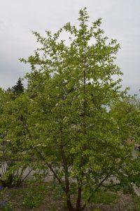 Prunus Valentine