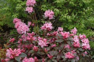 Rhododendron mezitt Aglo