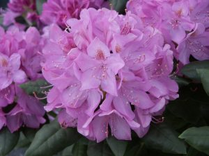 Rhododendron English Roseum