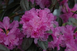 Rhododendron PJM Compact