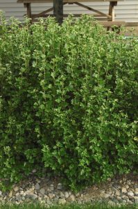 Ribes alpinum Smithii