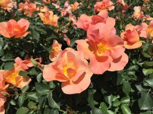 Rosa Chinook Sunrise