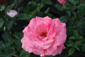 Rosa grandiflora Queen Elizabeth