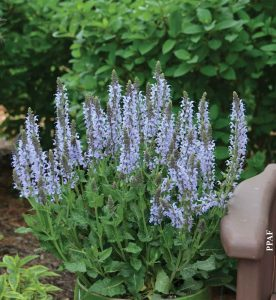 Salvia nemorosa Crystal Blue