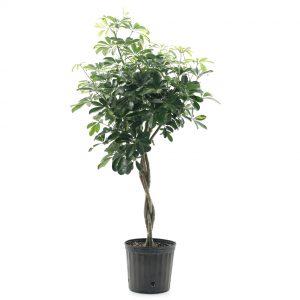 Schefflera arboricola-tressé