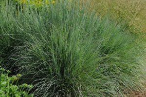 Schizachyrium scoparium Prairie Blues