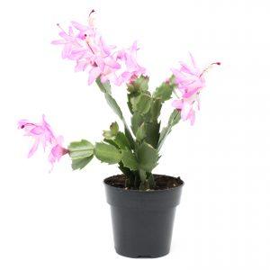Cactus de Noël-Schlumbregera truncata