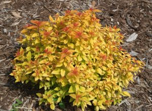 Spiraea japonica Double Play Candy Corn