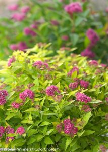 Spiraea japonica Double Play  Gold