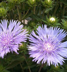 Stokesia laevis Mel's Blue