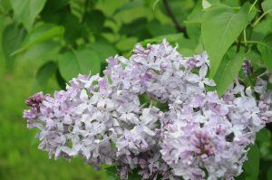 Syringa hyacinthiflora Lavender Lady
