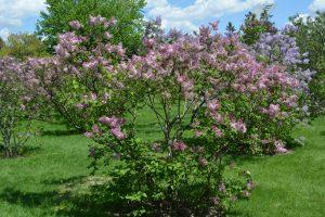 Syringa hyacinthiflora Maiden's Blush