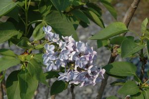 Syringa vulgaris Wonder Blue
