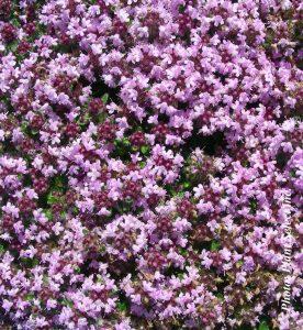 Thymus Pseudolanuginosus