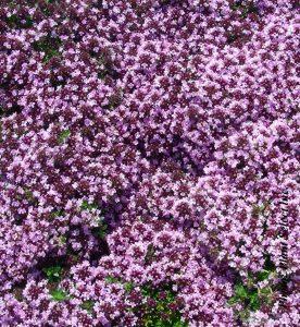 Thymus serpyllum Roseus