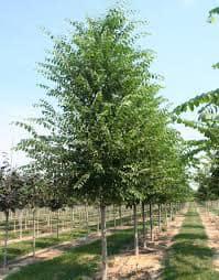 Ulmus parvifolia Frontier