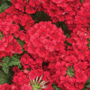 Verbena Superbena Red