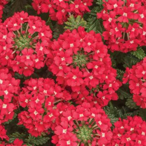 Verbena Superbena Scarlet Star