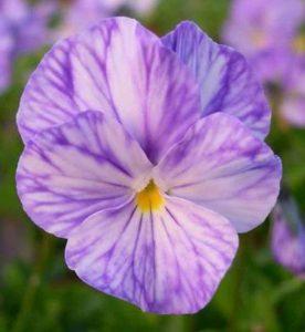 Viola cornuta Columbine