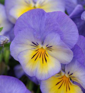 Viola cornuta Halo Sky Blue