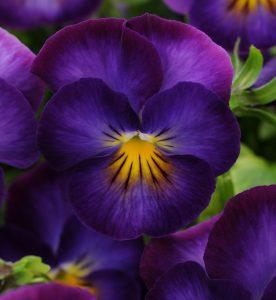 Viola cornuta Halo Violet