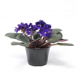 Saintpaulia ionantha/Violette africaine