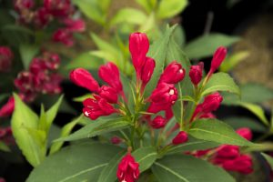 Weigela Crimson Kisses