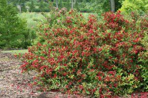 Weigela florida Sonic Bloom Red