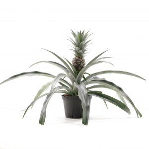 Bromelia-Ananas comosus