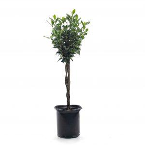 Gardenia jasminoïdes  Aimee Yoshioka tige