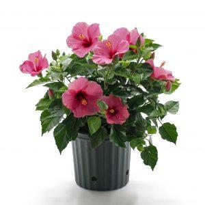 Hibiscus rosa-sinensis-arbustif assorti