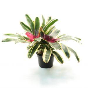 Bromelia-Neoregelia