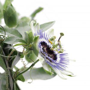 Passiflora assorties