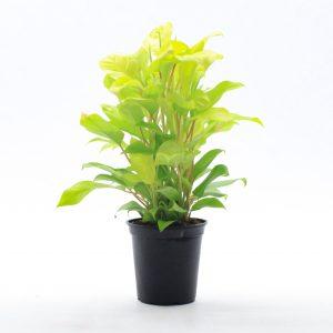 Philodendron Golden Goddess /syn. lemon lime