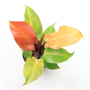 Philodendron Prince Orange