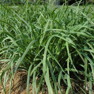 Ciboulette de jardin – Bio – Jardins Écoumène