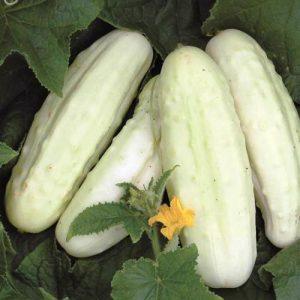 Concombre blanc de Hollande – Bio – Jardins Écoumène