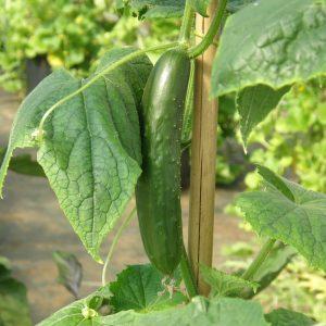 Concombre Libanais Green finger – Bio – Jardins Écoumène