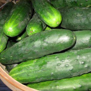 Concombre Marketmore 76 – Bio – Jardins Écoumène