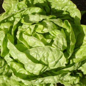 Laitue pommée Buttercrunch bibb – Bio – Jardins Écoumène