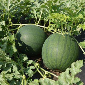 Melon Blacktail Mountain – Bio – Jardins Écoumène