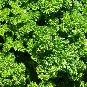 Persil frisé -bio- Jardins Écoumène