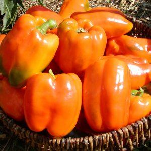 Plant de poivrons doux oranges (piment)