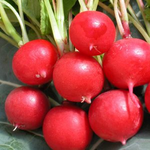 Radis Cherry Belle -bio- Jardins Écoumène