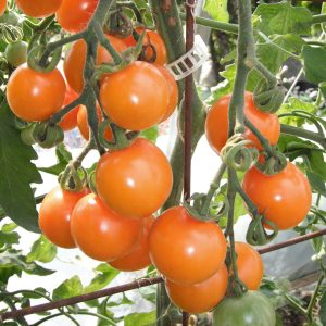 Tomate Sungold