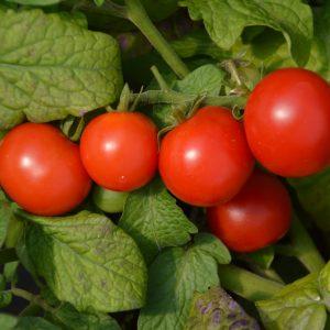 Plant de tomates cerises rouges
